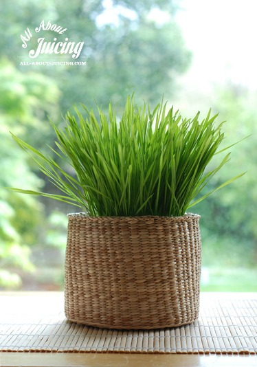 Basket of wheatgrass